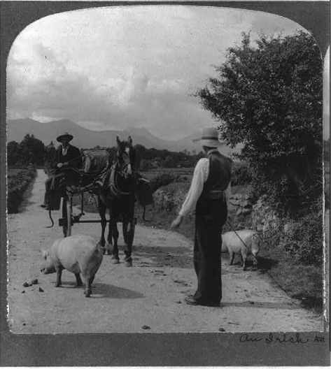 Pigs by road 1905 style.jpg